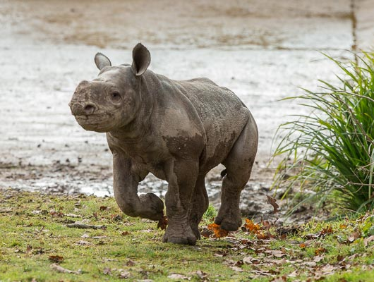 Rukuru - Baby Black Rhino at Port Lympne