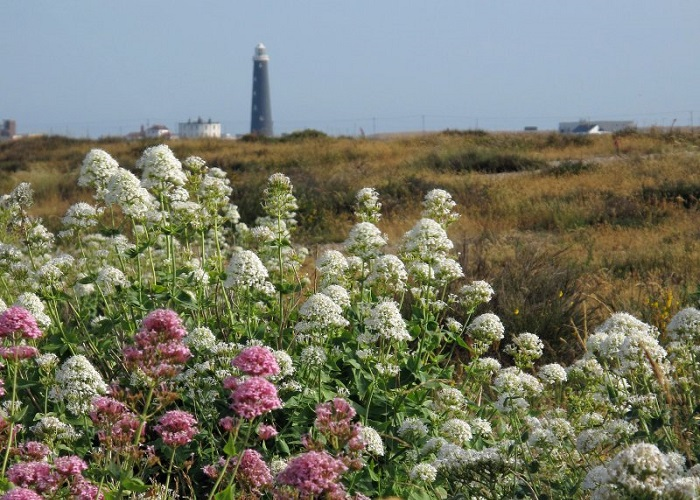 Wild flowers on the shingle.
