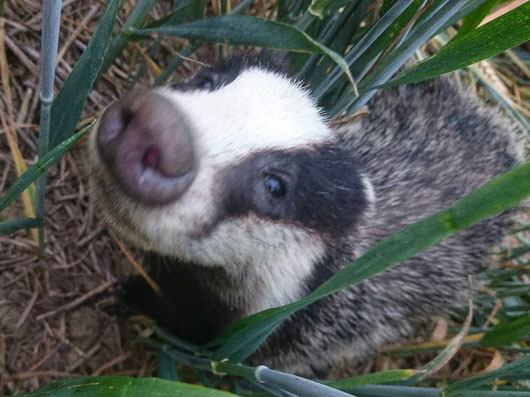 Species : Baby Badger,   Range : 6cm