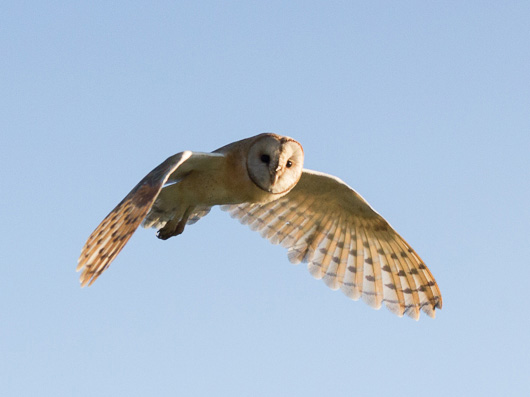 The Barn Owl, silent in flight.