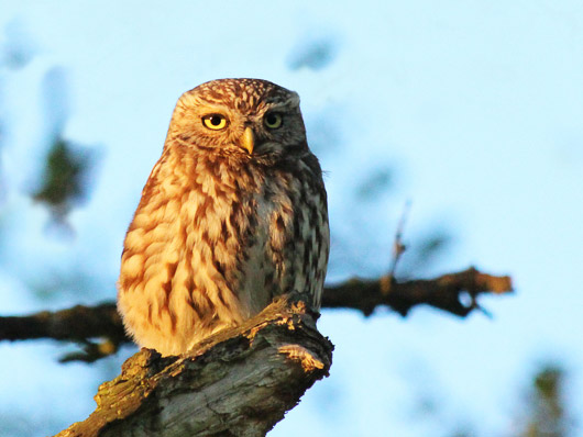 Little Owl posing for a picture.