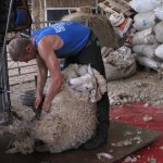 Another busy day shearing