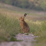 The rare and beautiful sight of a Hare down on the Marsh