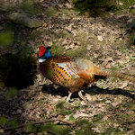 Pheasant creeping around in the bottom of the 'Ghyll'