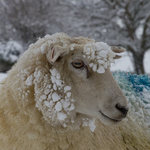 In the deep mid Winter...you may see a snowy sheep