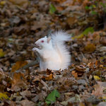 Rare white Squirrel, one of a pair we had on the farm a couple of years ago
